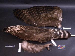 (Spizaetus nipalensis - 2003-0129)  @13 [ ] Copyright (2013) Takema  Saitoh Yamashina Institute for Ornithology