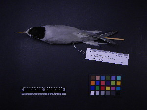 ( - 2006-0193)  @11 [ ] Copyright (2013) Takema  Saitoh Yamashina Institute for Ornithology
