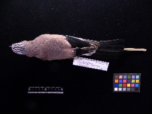 ( - 2006-5494)  @12 [ ] Copyright (2013) Takema  Saitoh Yamashina Institute for Ornithology