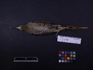 ( - 2003-0282)  @11 [ ] Copyright (2013) Takema  Saitoh Yamashina Institute for Ornithology