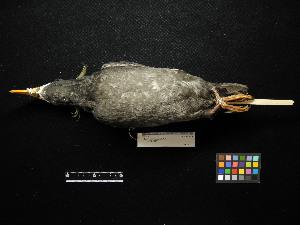 ( - 2011-0559)  @13 [ ] Copyright (2013) Takema  Saitoh Yamashina Institute for Ornithology