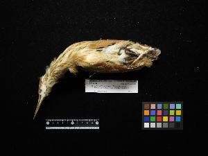 (Ixobrychus cinnamomeus - 2011-1050)  @12 [ ] Copyright (2013) Takema  Saitoh Yamashina Institute for Ornithology