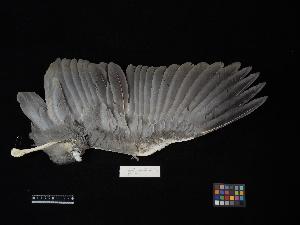 ( - 2008-0565)  @11 [ ] Copyright (2017) Takema  Saitoh Yamashina Institute for Ornithology