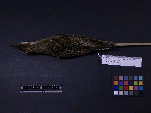 ( - 1995-0040)  @11 [ ] Copyright (2015) Takema  Saitoh Yamashina Institute for Ornithology