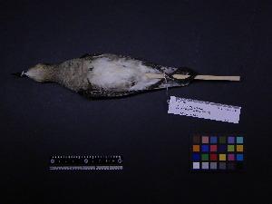 ( - 1997-0232)  @11 [ ] Copyright (2015) Takema  Saitoh Yamashina Institute for Ornithology