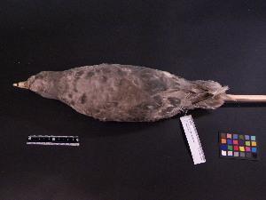 ( - 1998-0119)  @11 [ ] Copyright (2015) Takema  Saitoh Yamashina Institute for Ornithology