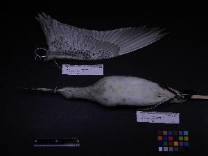 ( - 2006-0033)  @11 [ ] Copyright (2015) Takema  Saitoh Yamashina Institute for Ornithology