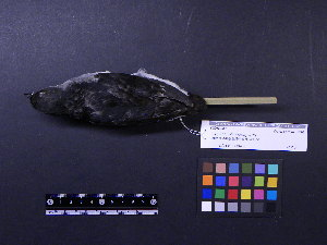 (Aethia - 2006-5301)  @11 [ ] Copyright (2015) Takema  Saitoh Yamashina Institute for Ornithology