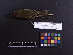 (Anthus rubescens - 2006-5374)  @14 [ ] Copyright (2015) Takema  Saitoh Yamashina Institute for Ornithology