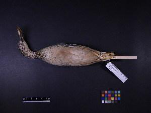 ( - 1997-0123)  @11 [ ] Copyright (2015) Takema  Saitoh Yamashina Institute for Ornithology
