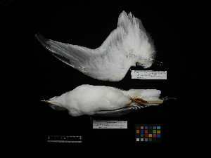 (Rissa brevirostris - 2012-0714)  @11 [ ] Copyright (2015) Takema Saitoh Yamashina Institute for Ornithology