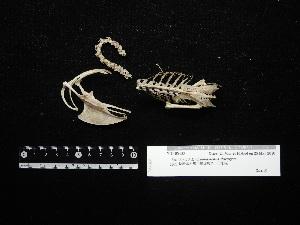 (Hydrophasianus - 2011-0142)  @11 [ ] Copyright (2015) Takema Saitoh Yamashina Institute for Ornithology
