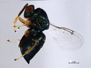 (Ormyridae - ALT-ORM.1-HN-6)  @15 [ ] CreativeCommons - Attribution Non-Commercial Share-Alike (2008) BIO Photography Group Biodiversity Institute of Ontario