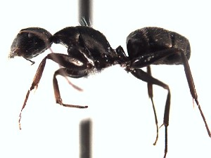 (Camponotus sp3 - BC10D30B5T1)  @11 [ ] Creative Commons (2015) David Donoso UTPL