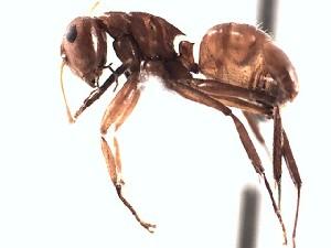 (Camponotus EC024 - BC10U10B3T4)  @13 [ ] CreativeCommons (2015) David Donoso UTPL