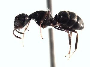 (Camponotus EC025 - BC20U30B4T2)  @12 [ ] CreativeCommons (2015) David Donoso UTPL
