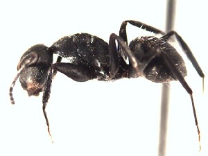 (Camponotus sp2 - BCYT267)  @11 [ ] Creative Commons (2015) David Donoso UTPL