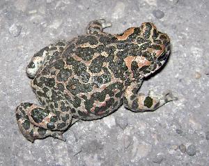 (Pseudepidalea viridis - BORKO089)  @11 [ ] Copyright  G. Blagoev 2010 Unspecified