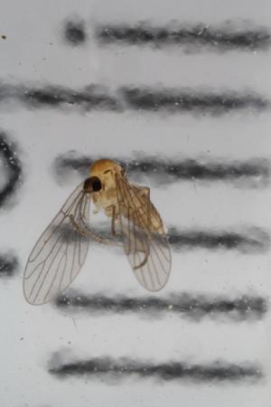 (Sycoracinae - Lygra57)  @11 [ ] Creative Commoms-by-nc-sa (2016) University of Bergen Natural History Collections