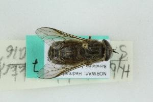 (Tabanus bimaculatus - RIKTAB7)  @11 [ ] Creative Commoms-by-nc-sa (2016) University of Bergen Natural History Collections