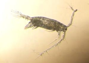 (Acartia californiensis - BIOUG01212-D07)  @13 [ ] Copyright (2014) Peter J. Bryant University of California, Irvine
