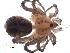 (Ammoxenidae - NCA-2012_5055)  @12 [ ] CreativeCommons - Attribution Non-Commercial Share-Alike (2013) Mamadi Theresa Sethusa University of Johannesburg