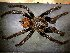 (Brachypelma - AASFB-0267)  @14 [ ] Unspecified (default): All Rights Reserved  Manuel Medina Mex Unspecified