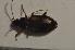 (Bembidion cruciatum baenningeri - TLMF Col. 00110)  @12 [ ] CreativeCommons - Attribution Non-Commercial Share-Alike (2013) Peter Huemer Tiroler Landesmuseum Ferdinandeum