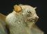 (Megaerops - ZMMU S-188170)  @14 [ ] Copyright (2011) Sergei Kruskop Zoological Museum of Moscow University