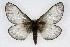 (Hemileuca lucina - CSU-CPG-LEP002148)  @11 [ ] Copyright (2009) Unspecified Colorado State University