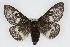 (Hemileuca grotei grotei - CSU-CPG-LEP002158)  @15 [ ] Copyright (2009) Unspecified Colorado State University