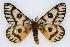 (Hemileuca nuttalli utahensis - CSU-CPG-LEP002236)  @11 [ ] Copyright (2009) Unspecified Colorado State University