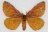 (Hemileuca eglanterina shastaensis - CSU-CPG-LEP002241)  @13 [ ] Copyright (2009) Unspecified Colorado State University