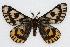 (Hemileuca eglanterina annulata - CSU-CPG-LEP002282)  @15 [ ] Copyright (2009) Unspecified Colorado State University