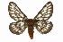 (Hemileuca chinatiensis - CSUPOBK-0463)  @14 [ ] CreativeCommons - Attribution Non-Commercial Share-Alike (2010) Biodiversity Institute of Ontario 2010 Biodiversity Institute of Ontario