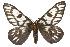 (Hemileuca magnifica - CSUPOBK-0480)  @15 [ ] CreativeCommons - Attribution Non-Commercial Share-Alike (2010) Biodiversity Institute of Ontario 2010 Biodiversity Institute of Ontario