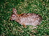  (Leporidae - HBL008454)  @16 [ ] CreativeCommons - Attribution Non-Commercial Share-Alike (2010) Unspecified Biodiversity Institute of Ontario