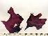 (Mastocarpus latissimus - GWS002995)  @14 [ ] CreativeCommons - Attribution Non-Commercial Share-Alike (2010) Unspecified University of New Brunswick