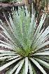 (Agave dasylirioides - GE02160)  @11 [ ] CreativeCommons - Attribution Non-Commercial Share-Alike (2011) Abisai J. Garcia Mendoza Universidad Nacional Autonoma de Mexico, Instituto de Biologia