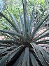 (Agave lurida - GE02163)  @11 [ ] CreativeCommons - Attribution Non-Commercial Share-Alike (2011) Abisai J. Garcia Mendoza Universidad Nacional Autonoma de Mexico, Instituto de Biologia