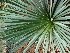 (Agave petrophila - GE02167)  @11 [ ] CreativeCommons - Attribution Non-Commercial Share-Alike (2011) Abisai J. Garcia Mendoza Universidad Nacional Autonoma de Mexico, Instituto de Biologia