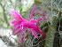 (Aporocactus - GE02425)  @11 [ ] Copyright  Salvador Arias Unspecified