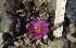 (Ariocarpus agavoides - GE0212)  @11 [ ] Copyright  Salvador Arias Unspecified