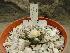 (Ariocarpus fissuratus - GE02226.6)  @11 [ ] Copyright  Salvador Arias Unspecified