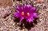 (Ariocarpus kotschoubeyanus - GE02429)  @11 [ ] Copyright  Salvador Arias Unspecified