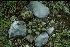 (Ariocarpus retusus - GE02386)  @11 [ ] Copyright  Salvador Arias Unspecified