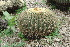 (Echinocactus grusonii - GE02262.6)  @11 [ ] Copyright  Salvador Arias Unspecified