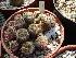 (Mammillaria crucigera - GE02283.6)  @11 [ ] Copyright  Salvador Arias Unspecified