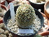 (Mammillaria huitzilopochtli - GE02236.6)  @11 [ ] Copyright  Salvador Arias Unspecified
