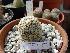 (Mammillaria huitzilopochtli - GE02235.6)  @11 [ ] Copyright  Salvador Arias Unspecified